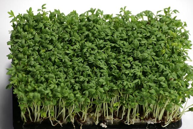 Co pěstovat v zimě? Třeba řeřichu za oknem