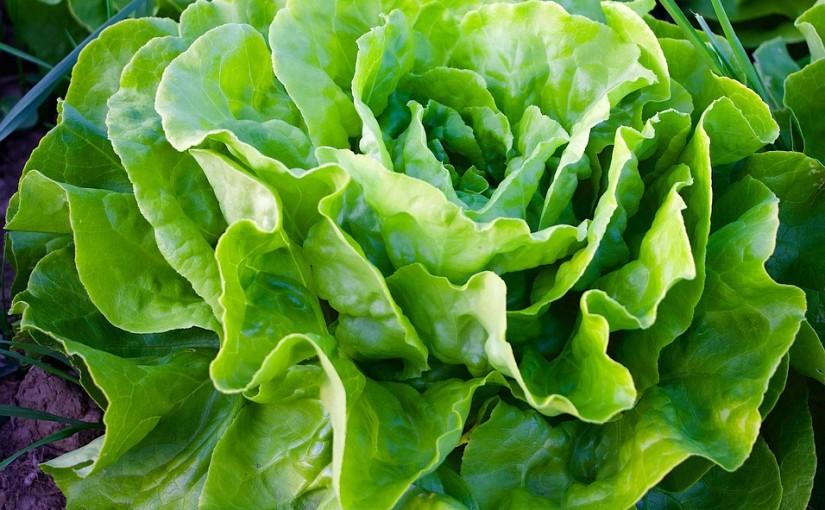 Jak vypěstovat křupavý a chutný salát