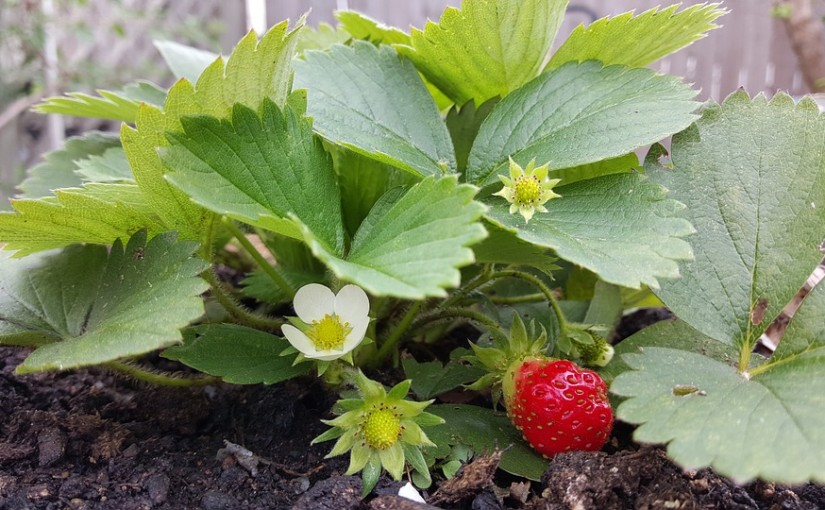 Jak vypěstovat sladké a šťavnaté jahody