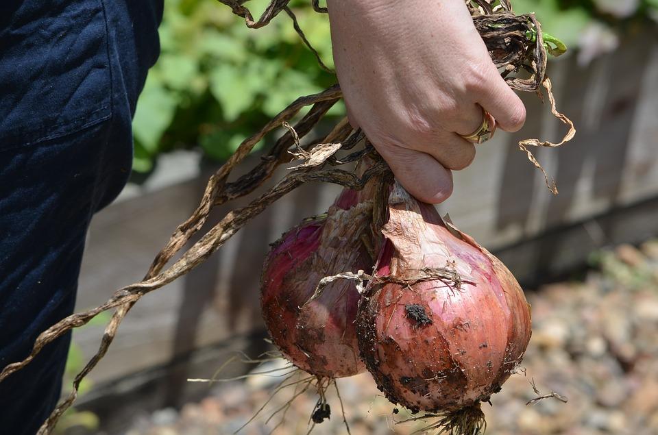 onions-248027_960_720