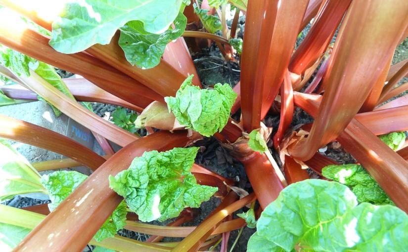 Rebarbora: Jarní sklizeň bez práce