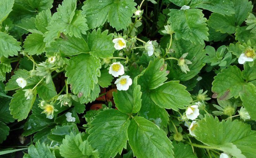 Jahody kvetou. Jak o ně pečovat?