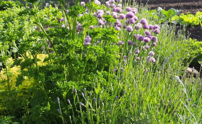 Pěstujte bylinky společně se zeleninou. Ochrání úrodu