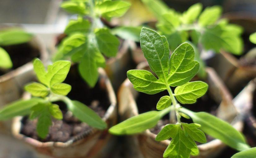 V únoru ponořte ruce do země! Je čas předpěstovat rajčata, papriky nebo celer