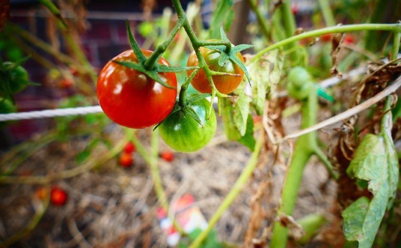 Rajčata rostou. Stačí málo a úrody bude hodně