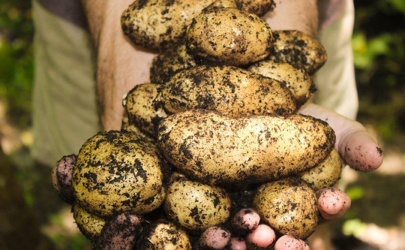 Je čas sklidit brambory